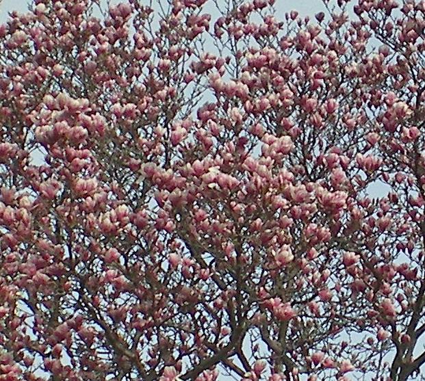 Tuliptree311