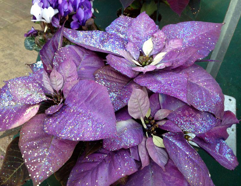 Purplepoinsetia