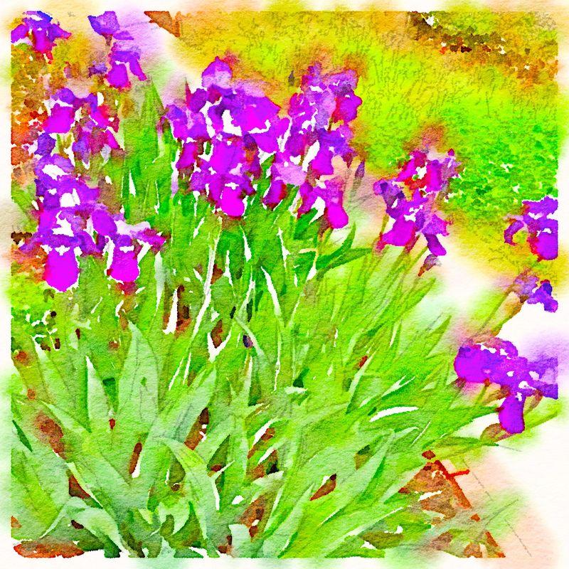 Painted in Waterlogue - Iris