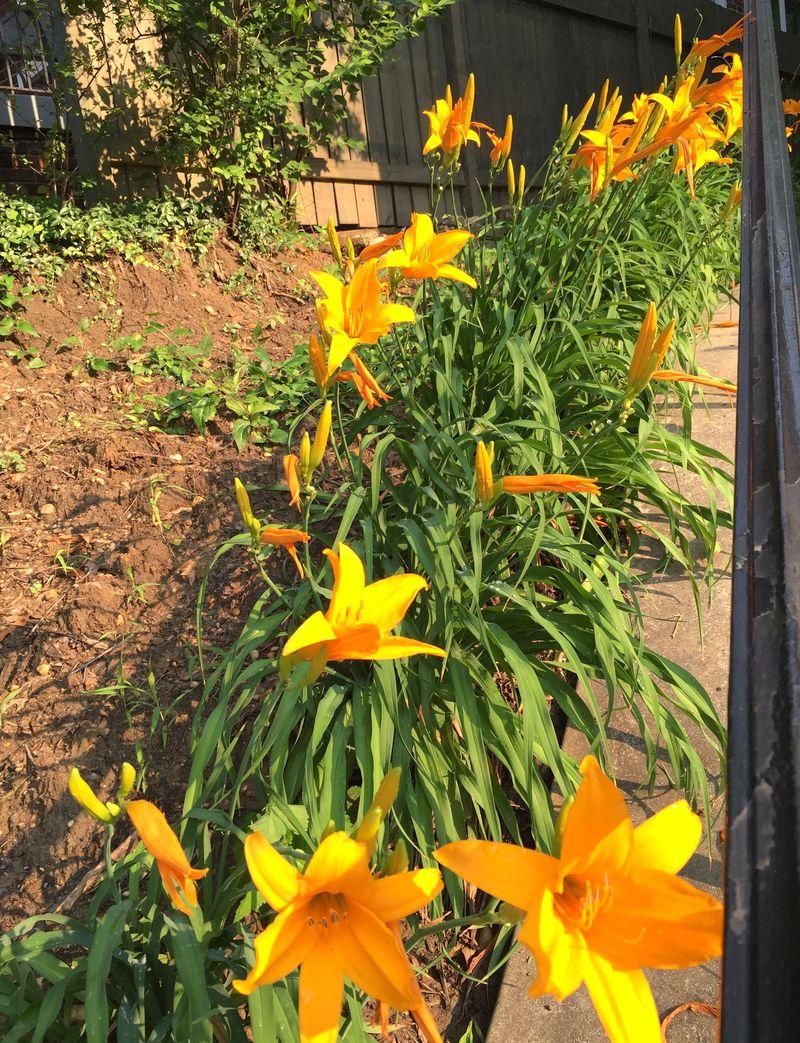 Daylilies aglow