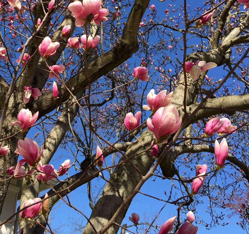 Tuliptree2015